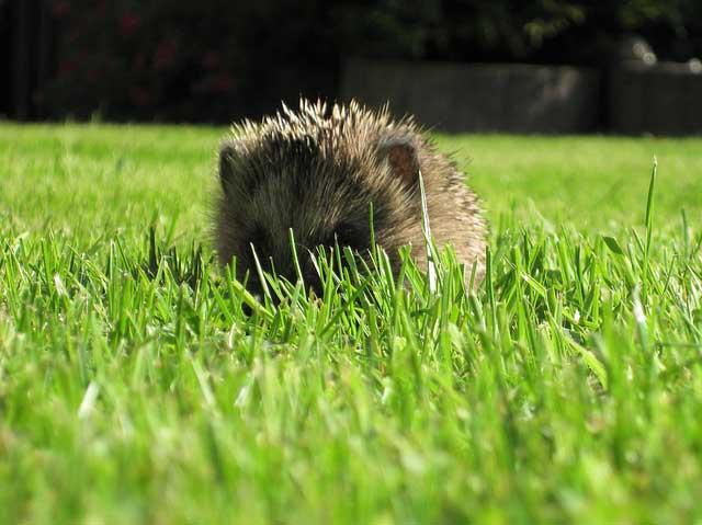 Igel auf dem Rasen müssen vor Mähroboter geschützt werden
